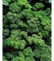 Parsley- Moss Curled- 200 Seeds -