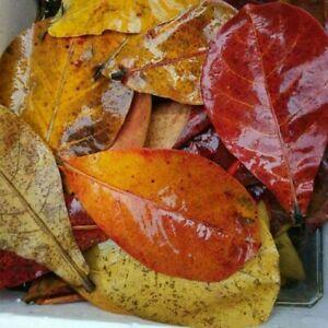 Indian Almond Leaves A+ Catappa Ketapang for Fish, Shrimp, Aquarium Free Ship