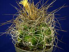 ASTROPHYTUM CAPRICORNE SENILE AUREUM =7cm= cacti 仙人掌 กระบองเพชร kakteen #5287+