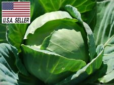 All Seasons Cabbage - 500 Seeds - Vegetable Heirloom Non-gmo, USA!