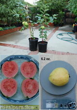 25 Seeds Bonsai Red Guava Apple Guava Superior Taste Tropical Fruit Seeds