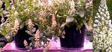 Duft Reseda Samen / winterharte Blumentopfpflanzen Kübelpflanzen für den Garten