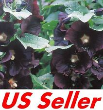 40 Pcs Seeds Black Hollyhock G53, Garden Biennial Flower