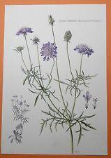 Tauben-Skabiose (Scabiosa columbaria) Tauben-Grindkraut Heilkraut Farbdruck 1955