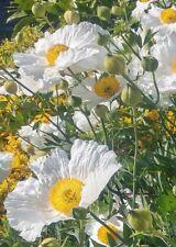 Romneya coulteri / Californian Tree Poppy / Hardy Perennial / 50 Seeds