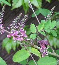 Indigofera amblyantha - 20 Semillas - ROSA CON FLORES Indigo - Planta perenne