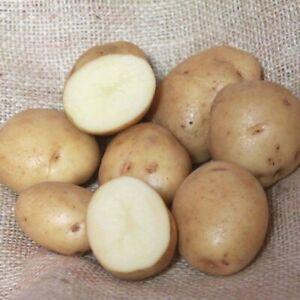 NEW SEASON - BRITISH QUEEN Seed Potatoes - Certified Irish Seed - 2nd Early