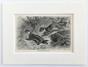 Weasel Animal Print - 1893 Mounted Antique Black & White Engraving