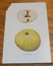 c1900 Antique COLOR Print of the REINETTE PIPPIN APPLE