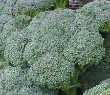Broccoli Seeds- Waltham Heirloom- 500+   2018 Seeds    $1.69 Max. Shipping/order