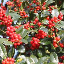 Ilex aquifolium J.C.van Tol | Holly | Ornamental Garden Tree | 5-6ft