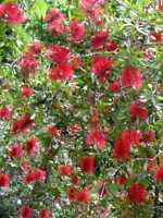 5 PZ Pianta di Callistemon Cespuglio - vaso 7cm - Callistemone Speciosus