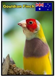 GOULDIAN FINCH (AUSTRALIA) - NOVELTY SOUVENIR FRIDGE MAGNET - BIRDS / GIFTS