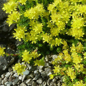 Saxifraga Juniperifolia -Evergreen Alpine Rockery Cushion Plant in 9cm Pot