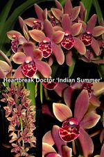 Massive Cymbidium Heartbreak Doctor Indian Summer 2 spikers 200mm pots Orchid