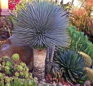 "YUCCA ROSTRATA  exotic blue color joshua tree hardy desert caudex cacti 4"" plant"