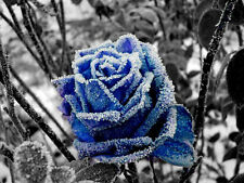 24 20+ BLUE FIRE and ICE ROSE Bush Seeds   USA SELLER     SHIPS FREE