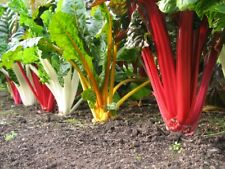 Swiss Chard, 5 Color RAINBOW 30 Heirloom, Non Gmo, Gluten Free - FREE SHIPPING