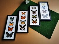 4 x Set Real Butterfly Taxidermy Insect Wood Frame Portrait Display Home Decor