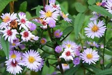Perennials- Asters