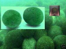 Größter Moosball der Welt Marimoball bis 1/4 Meter groß  .. Wasserpflanzen Deko