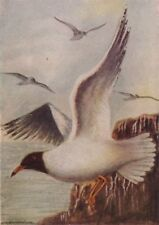 INDIAN BIRDS. The Black-headed or Laughing Gull 1943 old vintage print picture