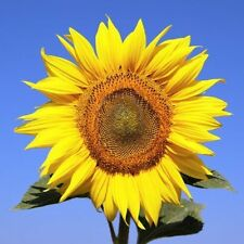 25 Seeds - Sunflower - American Giant (Helianthus annuus)