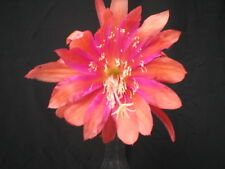 "Epiphyllum, Orchid Cactus, "" Inca Gold "" , Don's Quart pots"