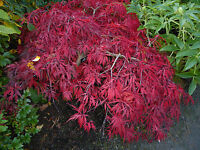 ACER PALMATUM  DISSECTUM -JAPANESE MAPLE- 20 SEEDS bargain only £1.69