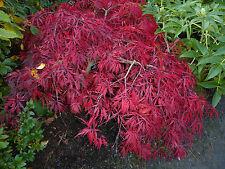 Acer Palmatum Arce Japonés dissectum - - 30 Semillas Ganga sólo £ 1.99