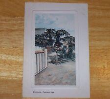 Antique postcard Bermuda Pawpaw Tree souvenir vintage collectibles unposted rf9