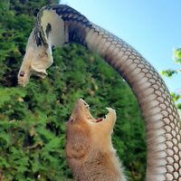 Nice Taxidermy Mounts Stuffed Cobra VS Mongoose Stand Home Art Decor Gift Rare