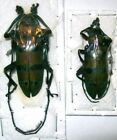 Diastocera wallichi PAIR OR single male Taxidermy REAL Insect Beetle Unmounted