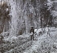 Bamboo Jungle, Java, Old Keystone Magic Lantern Glass Photo Slide