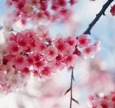 1 Pack 10 Cherry Blossom Sakura Oriental Cherry Seeds S027