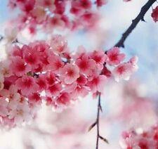 1 Pack 10 Cherry Blossom Sakura Oriental Cherry Seeds S027