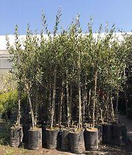 Olivo in vaso - olea europea in fitocella varietà ascolana, frantoio, leccino...
