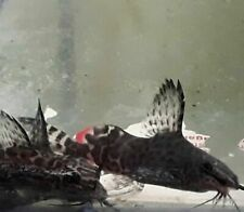 "New listing Synodontis Eupterus 1"" to 1.5"""