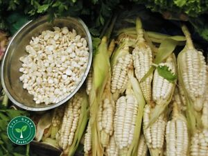 50 seeds of Giant White Maize - ZEA MAYS - Corn + GIFT 5 seeds Sunflower