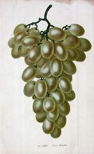Weintraube Traube Wine Rebe Pance Blanche Weißwein Grape Raisin Winzer Vino Vin