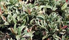 Jasmine- Tri-Color Star Asiatic ~Trachelosperumum~ Lot of 2