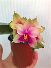Phalaenopsis violacea orchid species Bs plants