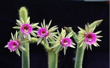 * Arthrocereus Rondonianus * Amazing Flowers * Snake Succulent * Rare * 10 Seeds