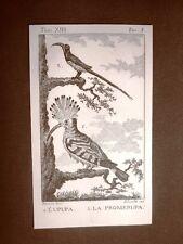Upupa e Promerupa Incisione su rame del 1813 Buffon Uccello Ornitologia