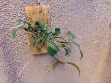Rare Dendrobium tetragonum var giganteum orchid plant FS mounted