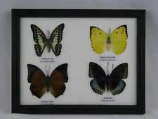 4 echte exotische Schmetterlinge im Schaukasten - einmalig und wunderschön q 04