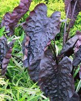 """Colocasia """"Puckered Up"""" elephant ear live plant NEW"""