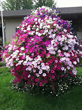 200 seeds of petunia tree wave petals shuttlecock flowers