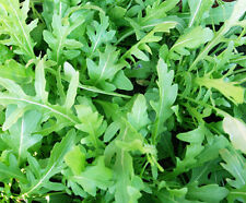 WILD ROCKET 500+ seeds salad vegetable garden herb PERENNIAL easy grow arugula