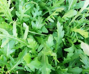 WILD ROCKET 500+ seeds salad vegetable garden herb PERENNIAL easy grow arugula